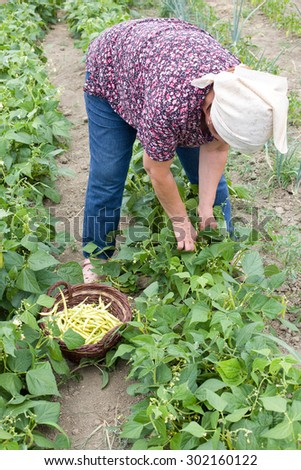 Senior country woman with kerchief harvesting yellow bean - stock photo