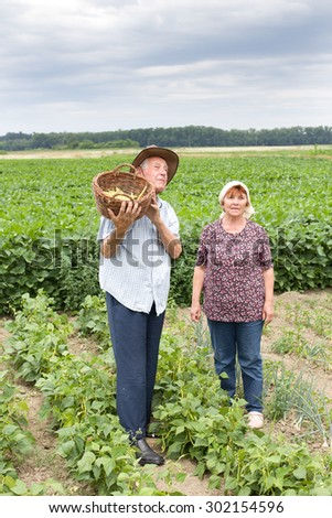 Senior couple peasants standing in yellow bean field - stock photo