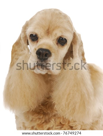 senior dog - cute cocker spaniel head portrait on white background - stock photo