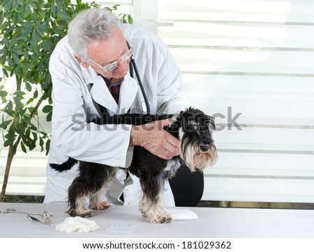 Senior experienced veterinarian examining miniature schnauzer's ear - stock photo