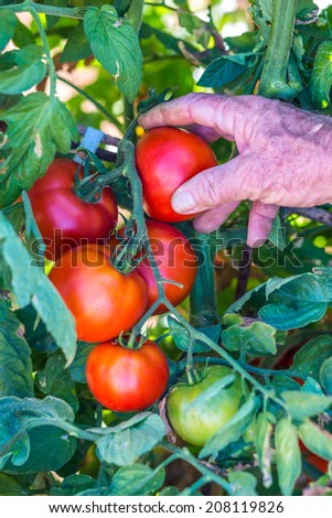Senior gardener with an harvested tomatoes in the garden - stock photo