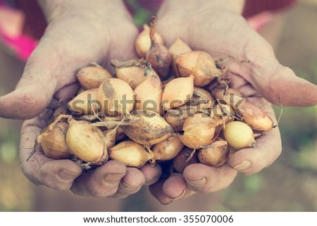 Senior hands holding onions. Close up of baby onions.