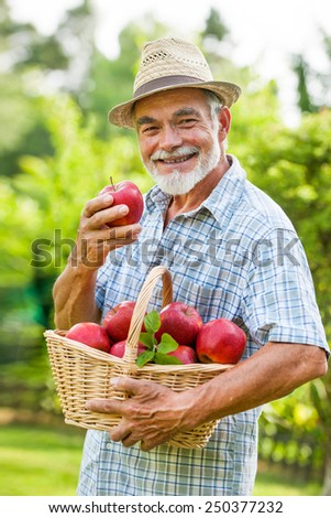 Senior holds a basket of ripe apples in the garden