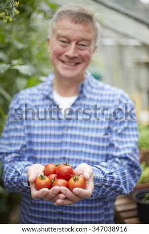 Senior Man In Greenhouse With Home Grown Tomatoes