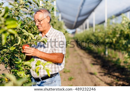 Senior man picking apples in his orchard. He examining the apple production.
