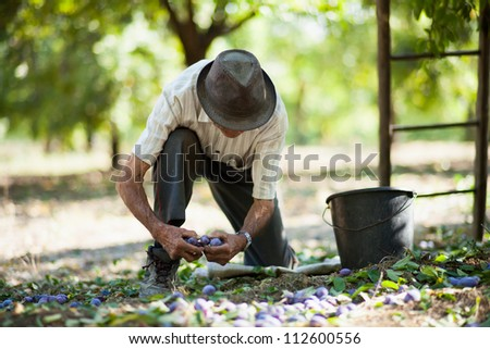 Senior man picking plums in an orchard at harvest time - stock photo