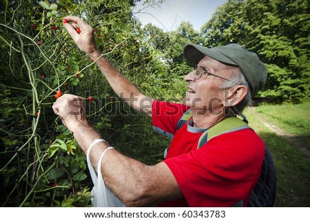 Senior man picking up wild rose hip - stock photo