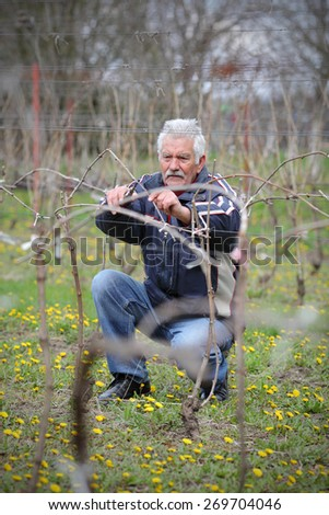 Senior man pruning grape in vineyard, active retirement, selective focus on face - stock photo