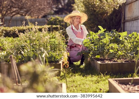 Senior woman among the raised beds in her vegetable garden checking on the quality of the food being produced - stock photo