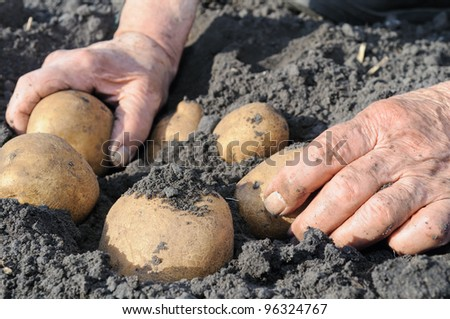 Senior woman picking potato in the vegetable garden