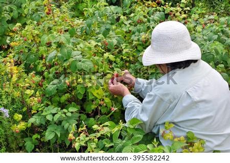 Senior woman picking ripe raspberries in the garden - stock photo
