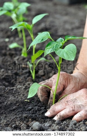 senior woman planting a pepper seedling in the vegetable garden , vertical composition - stock photo