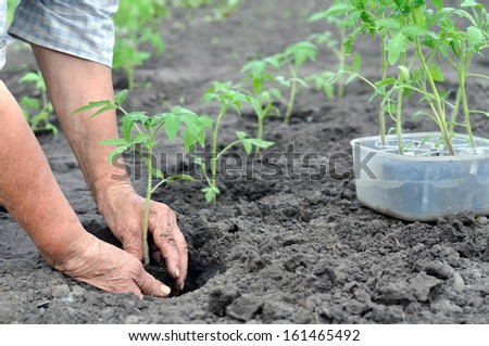senior woman planting a tomato seedling in the vegetable garden - stock photo