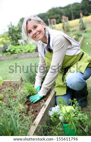 Senior woman planting aromatic herbs in kitchen garden - stock photo