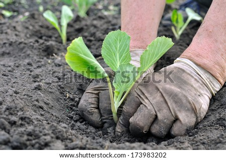 senior woman planting cabbage seedling in the vegetable garden - stock photo