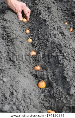 Senior woman planting onion in the vegetable garden  - stock photo
