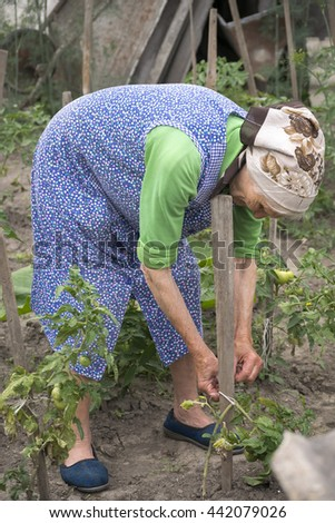 Senior woman working in the garden , grows tomatoes