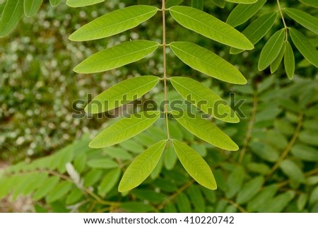 Senna siamea leaf . (Cassod tree, Thai copperpod)