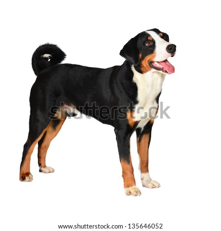 Sennenhund Appenzeller tricolor dog isolated on white, in studio - stock photo