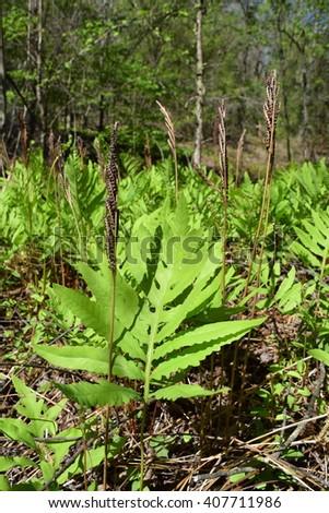 Sensitive fern in Mississippi - stock photo