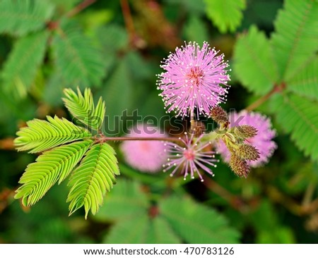 Sensitive plant  flowers  blooming