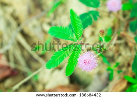 sensitive plant flowers on nature background, mimosa flowers