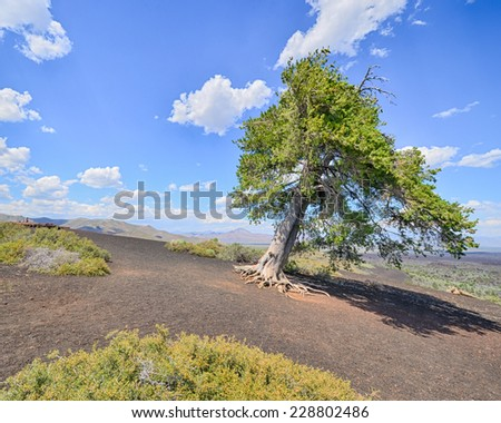 Sentinel Tree, Inferno Cone, Craters Of The Moon National Monument, Idaho - stock photo