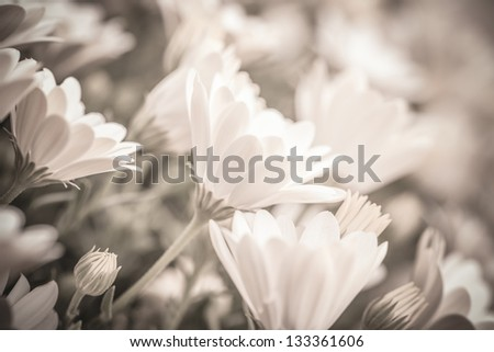 Sepia photo of beautiful fresh gentle daisy flowers, soft focus, spring time season - stock photo