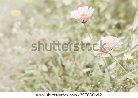 Sepia zinnia flowers  - stock photo