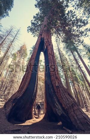 sequoia - stock photo