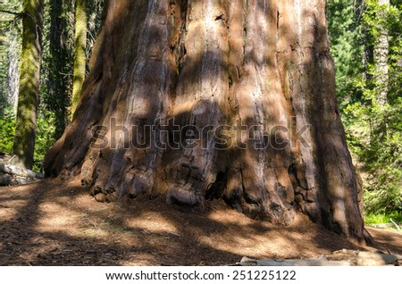 sequoia in Sequoia National Park in California - stock photo