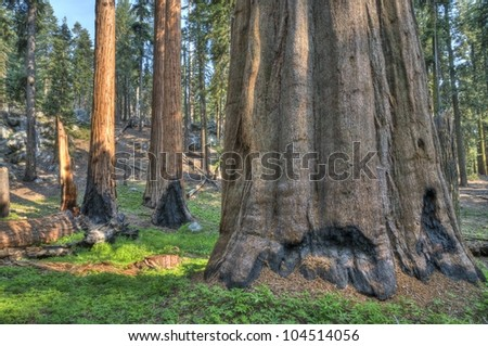 Sequoia in the Giant Forest at Sequoia National Park. - stock photo