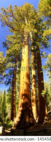 Sequoia tree in national park. California. USA - stock photo