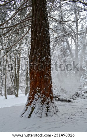 sequoia tree in winter