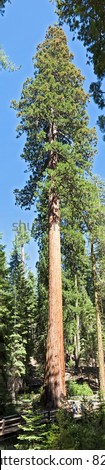 Sequoia Tree, the largest living thing on earth. - stock photo