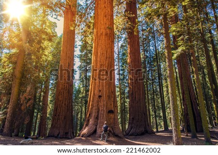 Sequoia vs Man. Giant Sequoias Forest and the Tourist with Backpack  Looking Up. - stock photo