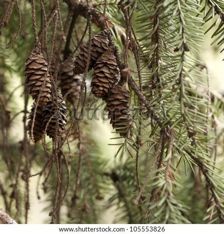 Serbian spruce - stock photo