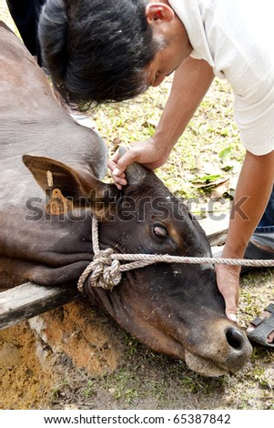 SEREMBAN - NOVEMBER 17 : A Malaysian Muslim cares and comforts his cow before offering it as sacrifice during Eid Al-Adha Al Mubarak November 17, 2010 in Seremban, Malaysia. - stock photo