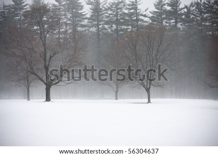 Serene scene of fresh snow with 4 trees standing out against a background of pine trees amidst fog. Location is Greeley Park, Nashua NH.