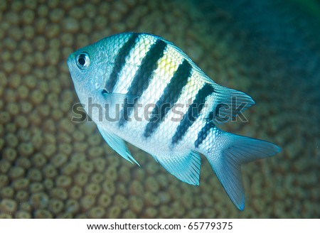 Sergeant Major Damsel Fish- Abudefdu saxatilis, picture taken on a shallow reef in Broward County Florida. - stock photo