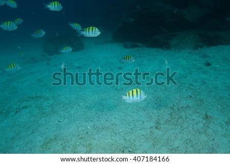 Sergeant major fishes underwater - stock photo