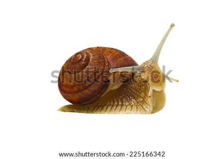 Series: emotions in the world of snails . Garden snail in side view at the white background . It is friendly and curiosity . - stock photo