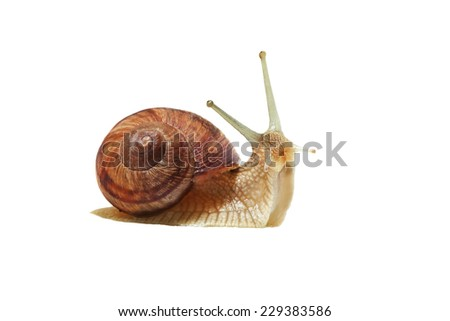 Series: emotions in the world of snails . Garden snail in side view at the white background . It is friendly and full of energy . - stock photo