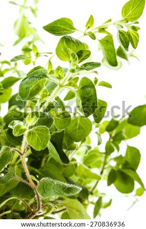 Series of kitchen spices: Fresh oregano in a flowerpot - stock photo