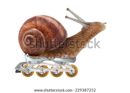 Series: racer snail . Garden snail  on the wheels in side view at the white background .  - stock photo