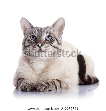Serious blue-eyed cat. Portrait of a striped blue-eyed cat. Striped cat. Striped not purebred kitten. Small predator. Small cat.