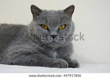 Serious british blue cat lying on a light background. Home lovely pet portrait.