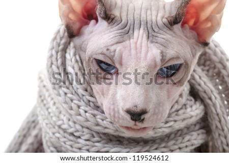 serious Canadian Sphynx cat with winter knitted scarf close-up portrait - stock photo