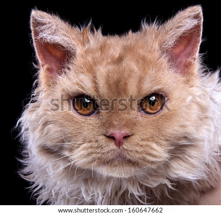 Serious cat is isolated on a black background. - stock photo
