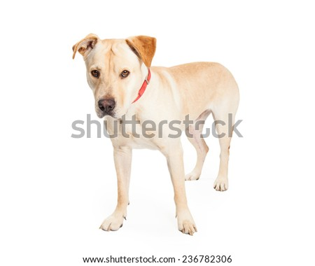 Serious looking Labrador Retriever Mix Breed Dog standing and waiting for direction from the handler.  - stock photo